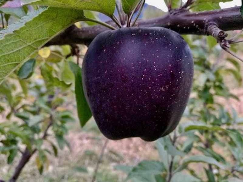 Interesting facts about apples