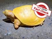 Fact Check: నిజమెంత: ఒరిస్సాలో పసుపు రంగు తాబేలు కనిపించిందా..?